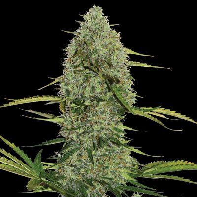 Mega Power Plant Automatic Female Cannabis Seeds
